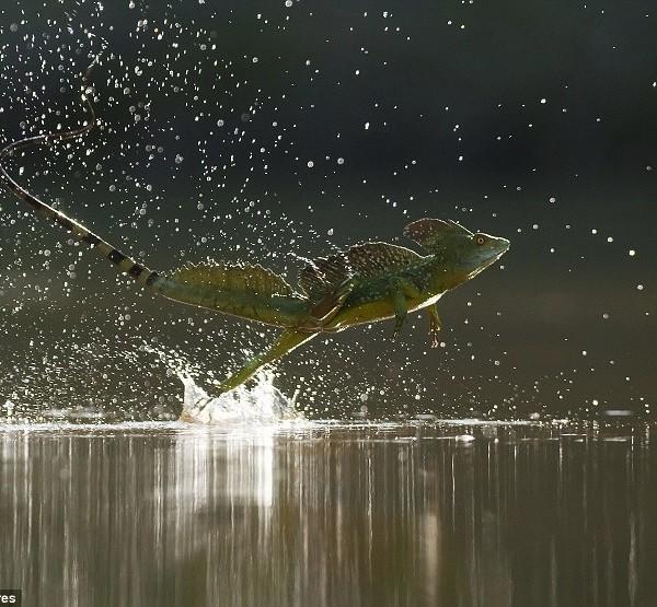 Basiliscus lizard