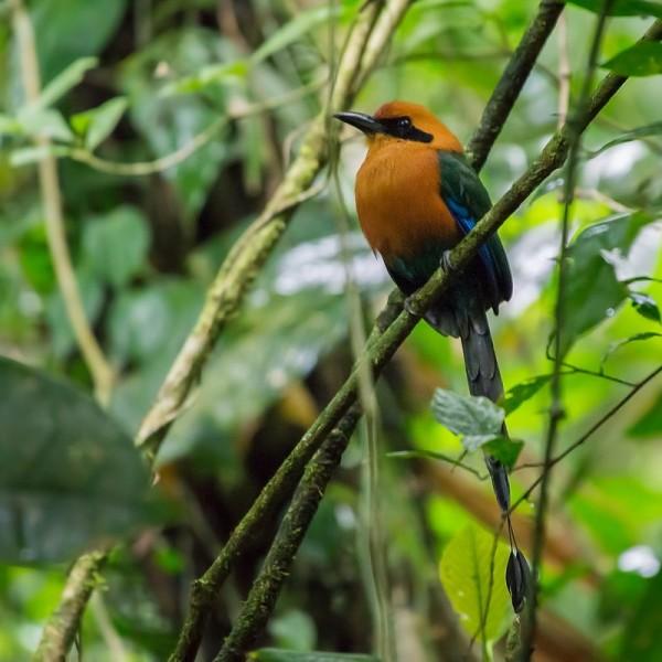 0302 - Costa Rica - Arenal - Hanging Bridges - Rufous motmot.jpg