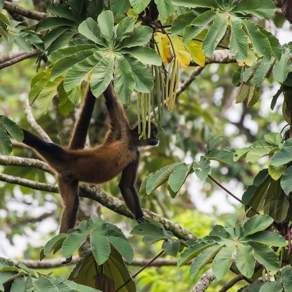 0278 - Costa Rica - Arenal - Hanging Bridges - Spider monkey.jpg