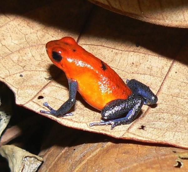 Blue Jeans Frog on Danaus Areanal