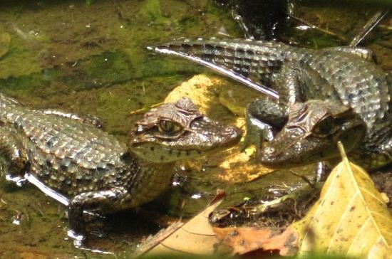 Caimans during the hiking on Danus