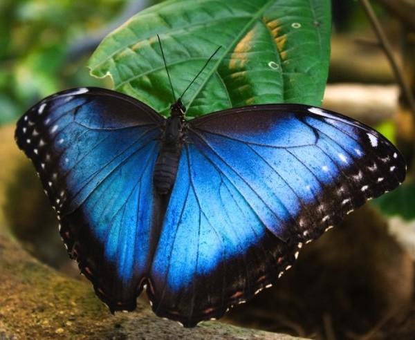 blue-morpho-butterfly-