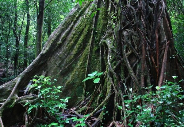 matapalos trees at rincon de la vieja national park