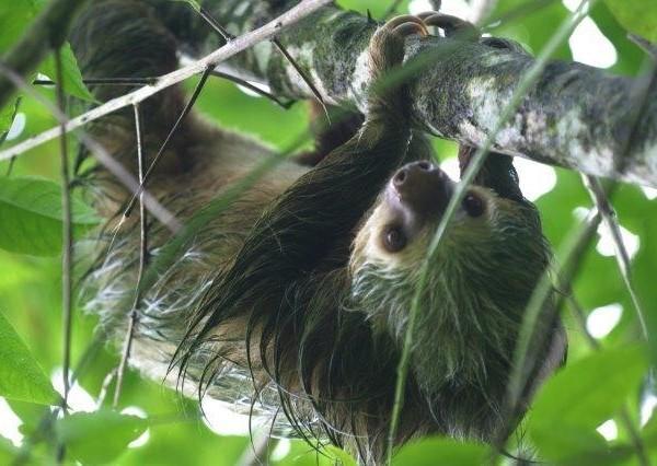sloth on Danaus