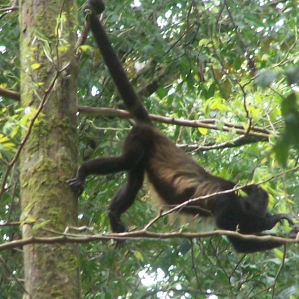 Howler Monkey on the Trails of Heliconias Rain Forest