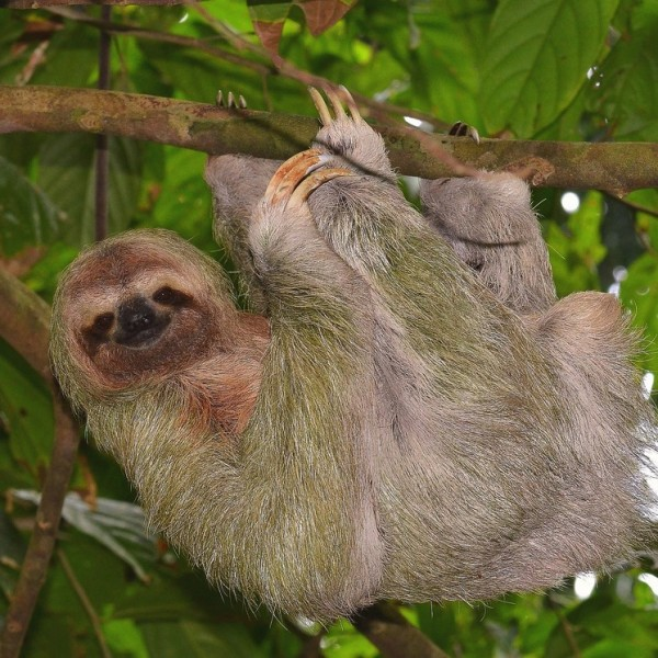 Sloth on Heliconias Rain Forest