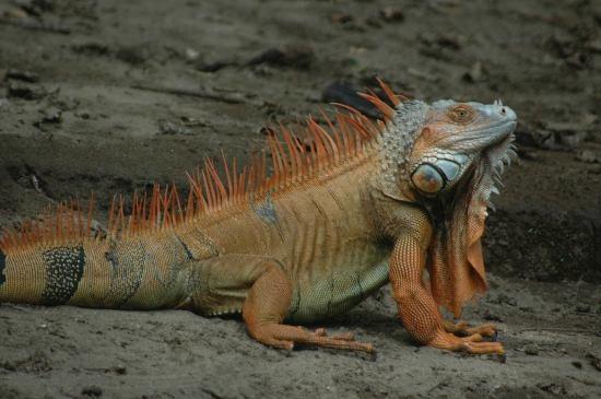 iguana verde en Palo Verde