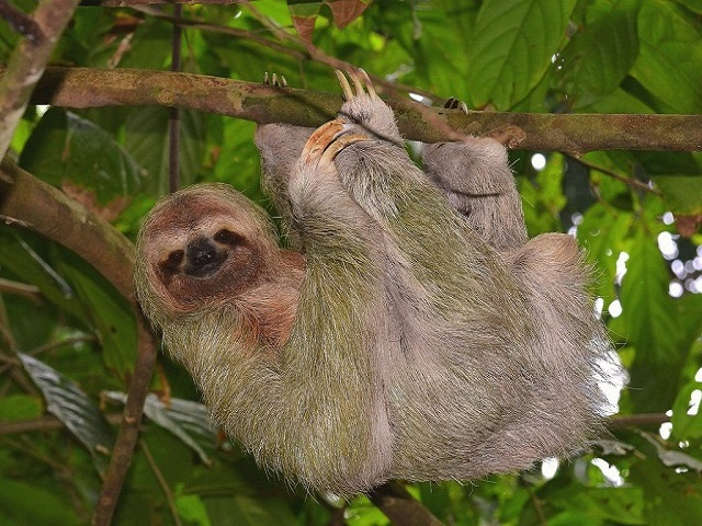 Sloth-on-Heliconias-Rain-Forest1