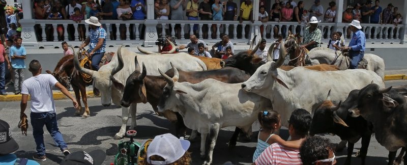 Costa Rica transportation to witness the Bull Bumps tradition
